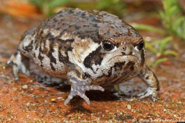 A very grumpy looking desert rain frog marching on the ground.